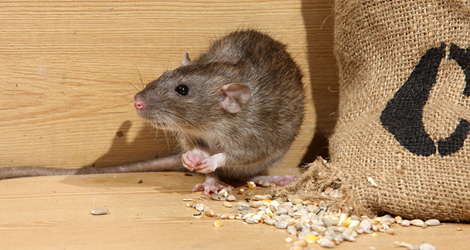 Affordable Mice/Rat Removal Services in Oakville