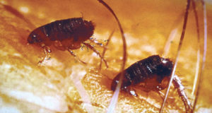 EXPERIENCED FLEAS REMOVAL EXPERTS IN OAKVILLE, BURLINGTON