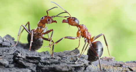 red-wood-ants-communicating